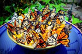butterflies hungry