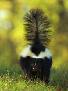 skunk01
